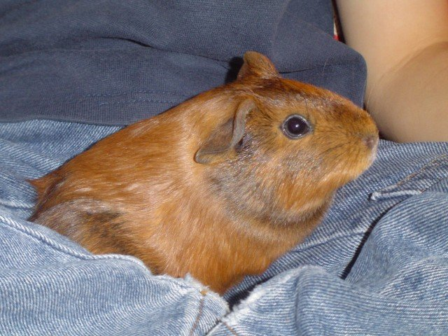 is it ok to have only one guinea pig