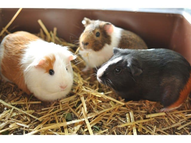 Do guinea pigs have periods