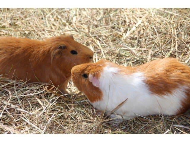 Male vs. female guinea pigs