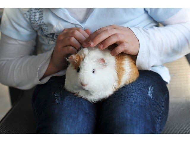 How can we prevent bleeding in guinea pigs?