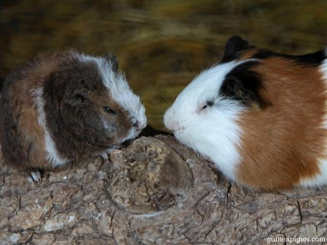 is it better to get a male or female guinea pig