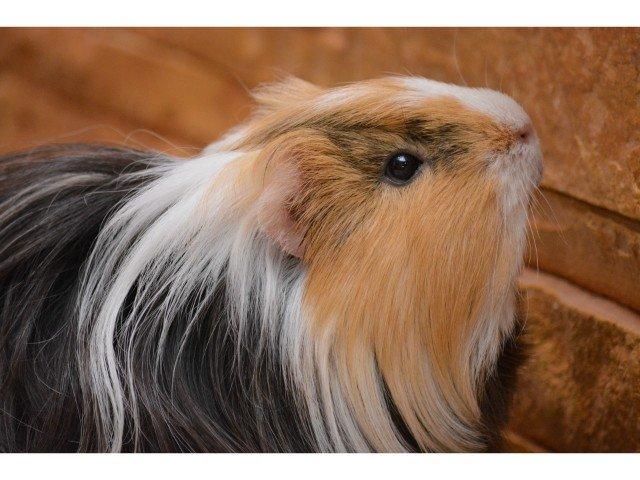 can guinea pigs climb?
