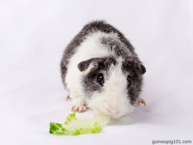teddy guinea pigs eat