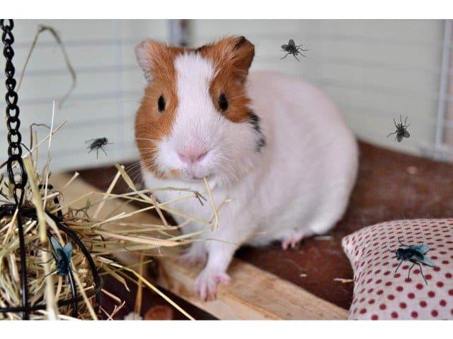 Do guinea pigs attract flies