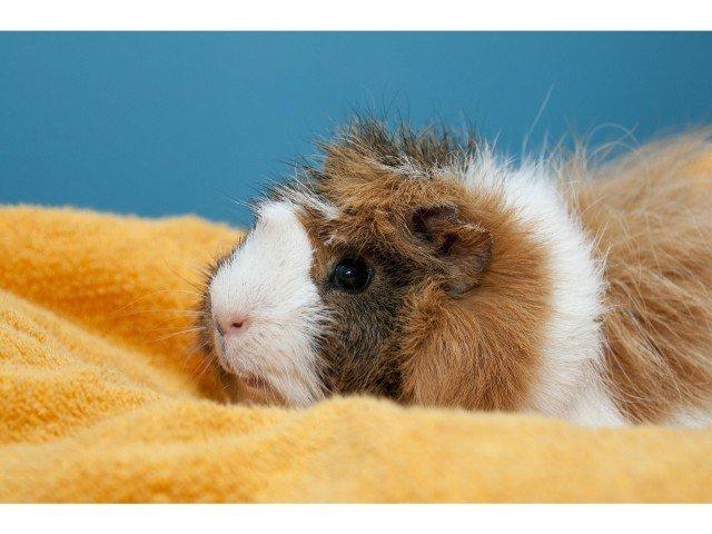 how to keep guinea pigs warm inside