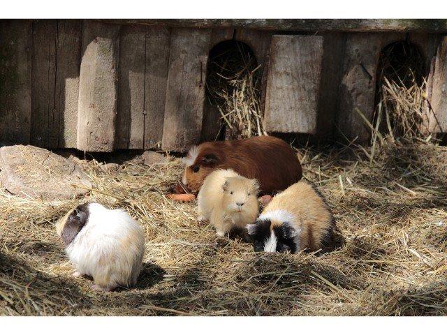 Guinea pig run for exercise
