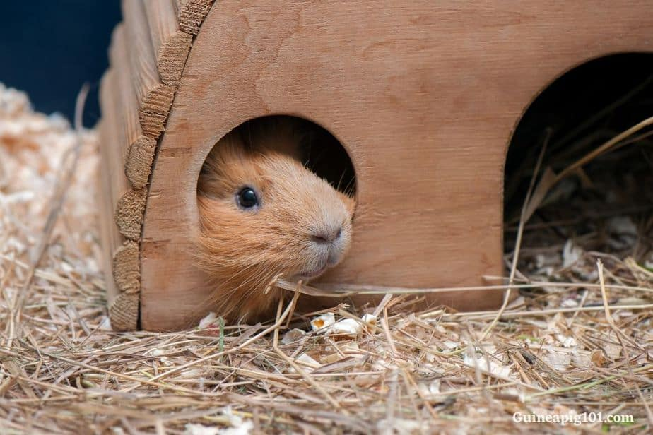 Guinea pigs hideouts