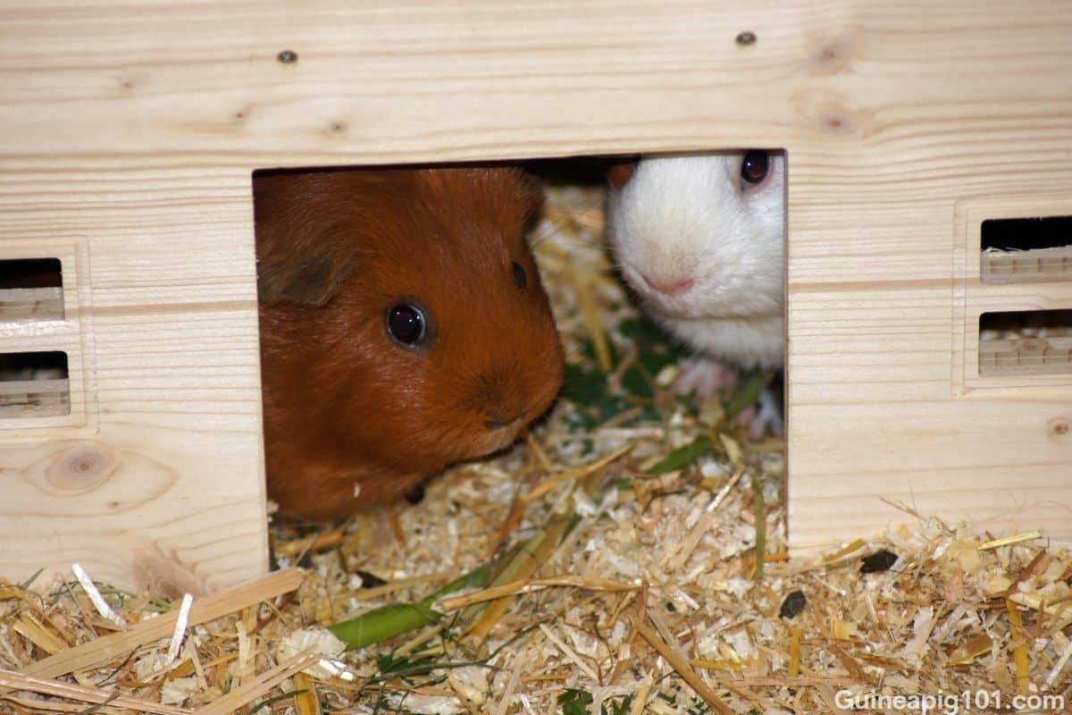 provide guinea pigs lots of hiding places