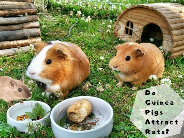 Do Guinea Pigs Attract Rats
