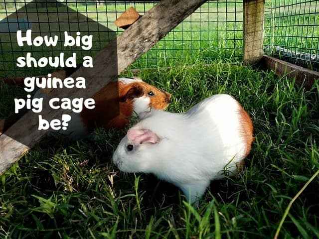 How big should a guinea pig cage be