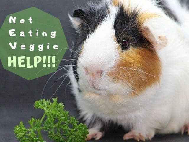 my guinea pig is not eating vegetable