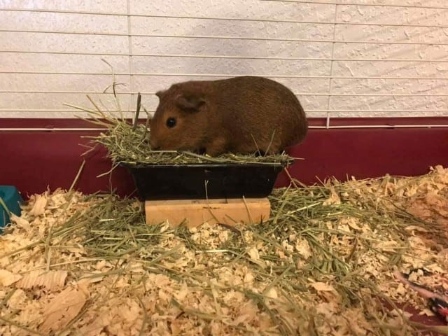 How much hay do guinea pigs eat a day
