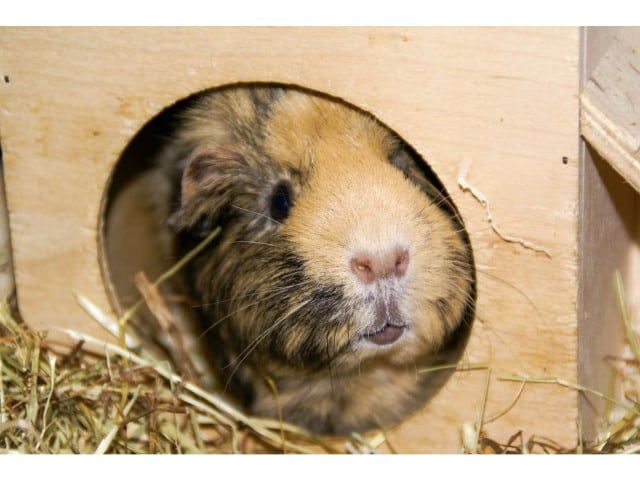 guinea pig hiding places