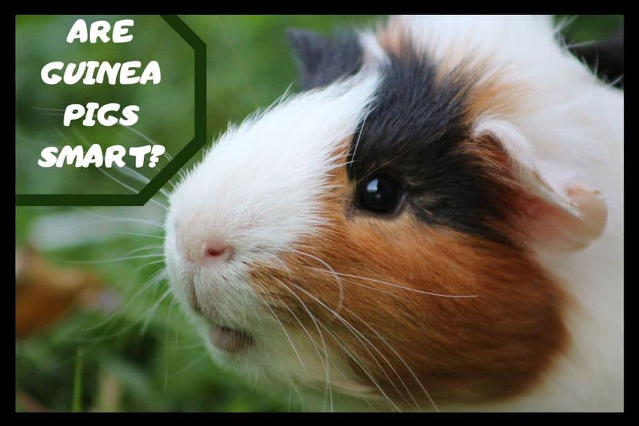 Are guinea pigs smart
