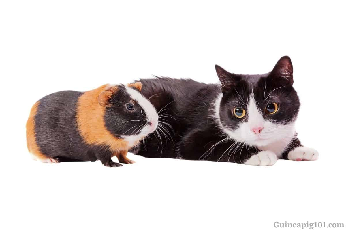 Can guinea pigs and cats live together?