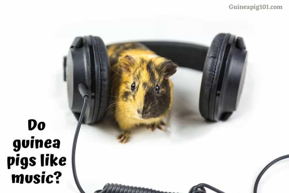 Do guinea pigs like music