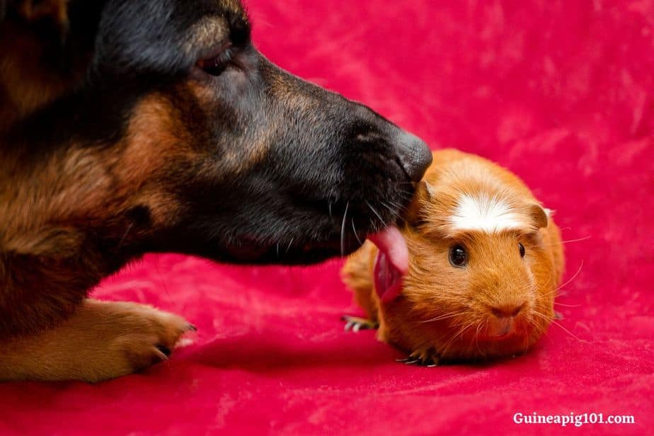 Guinea pigs and dogs
