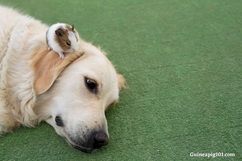 Are guinea pigs good with dogs