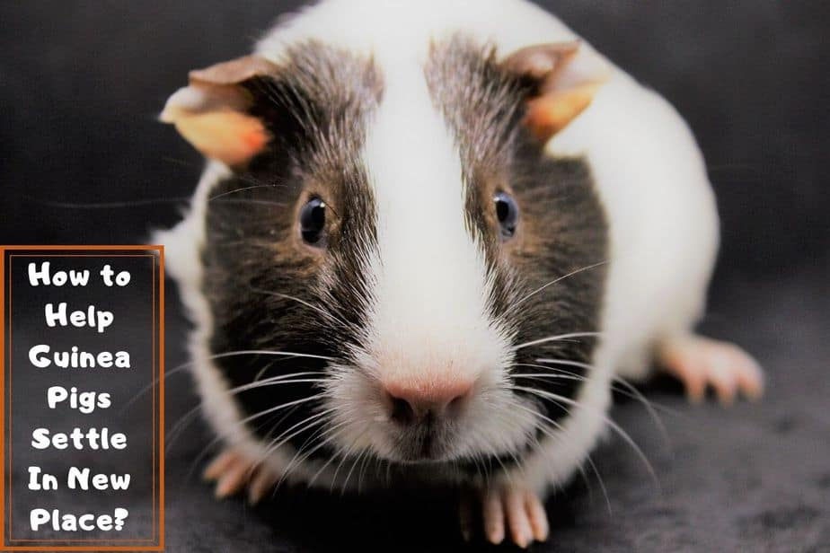 How long do guinea pigs take to settle in?