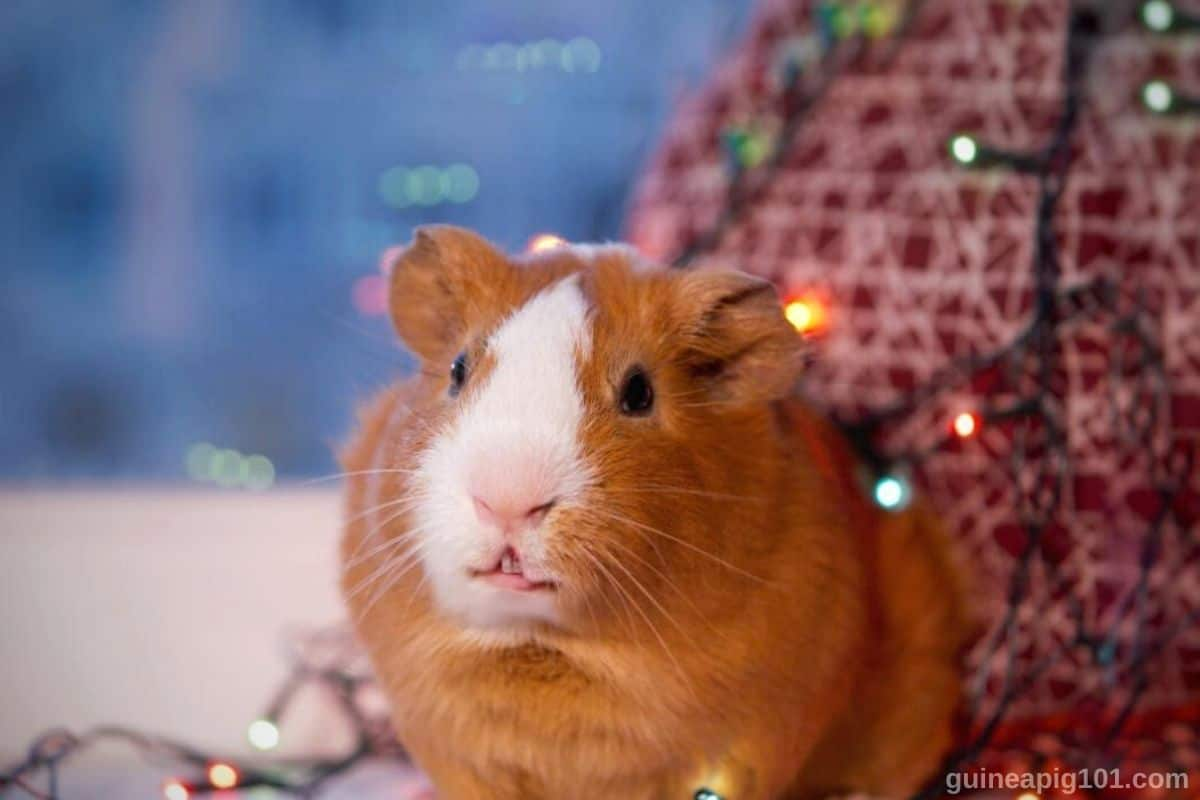 Is fairy light safe for guinea pigs?