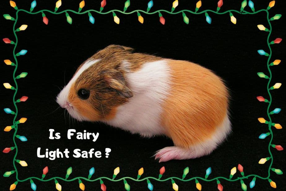 Is fairy light safe for guinea pigs