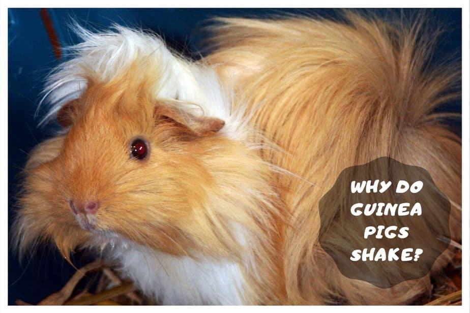 guinea pig shaking