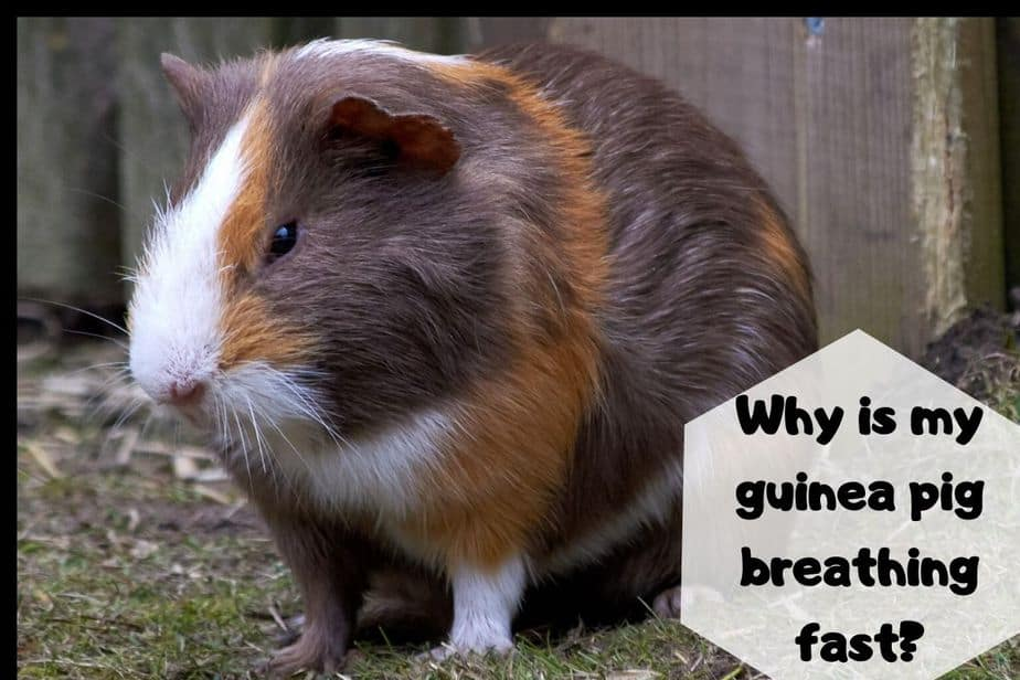 Why is my guinea pig breathing fast