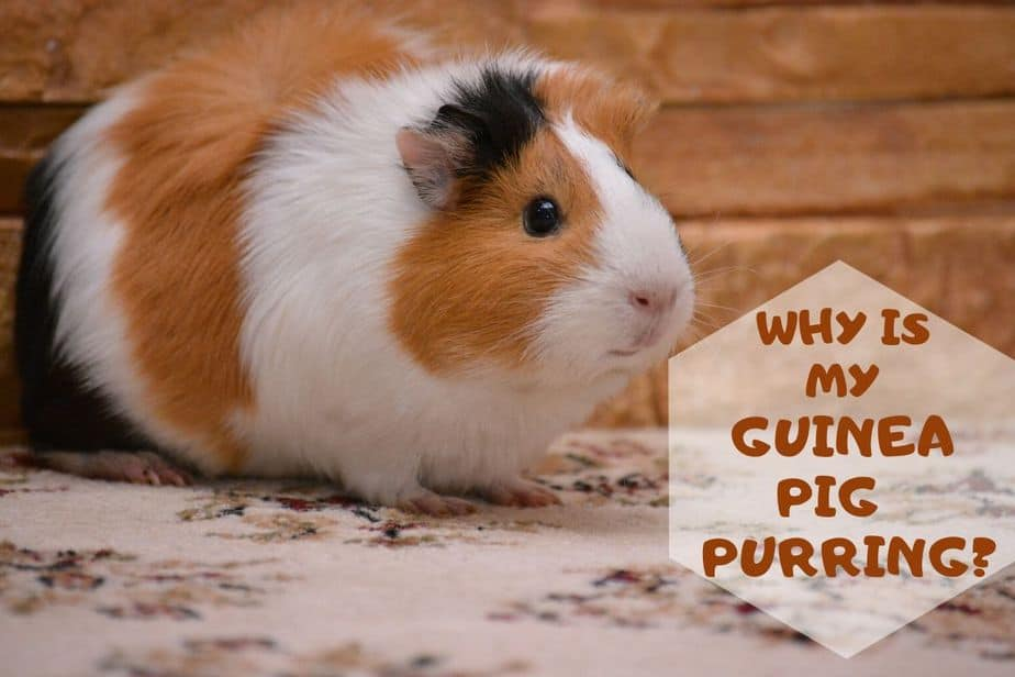 Why is my guinea pig purring