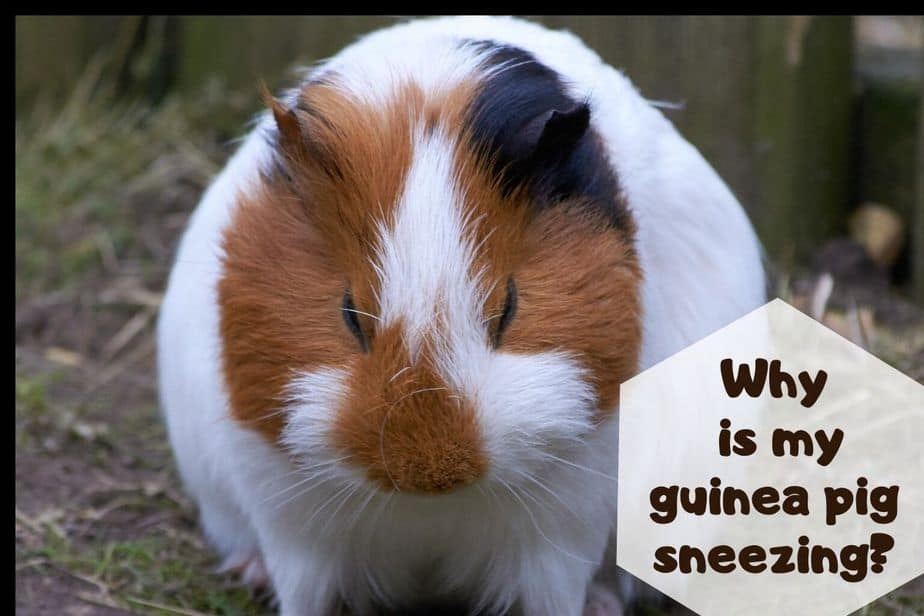Why is my guinea pig sneezing