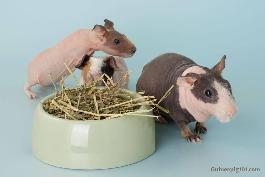 Skinny pig food bowl