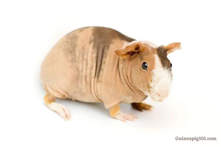 skinny pig appearance