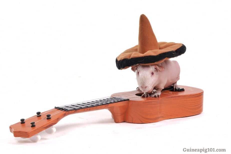 guinea pigs music