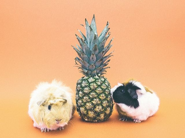 Is pineapple bad for guinea pigs