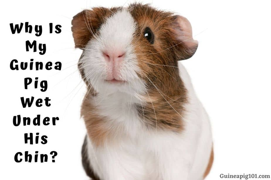 Guinea Pig Wet Under His Chin