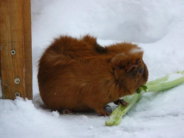 How often can guinea pigs eat celery?