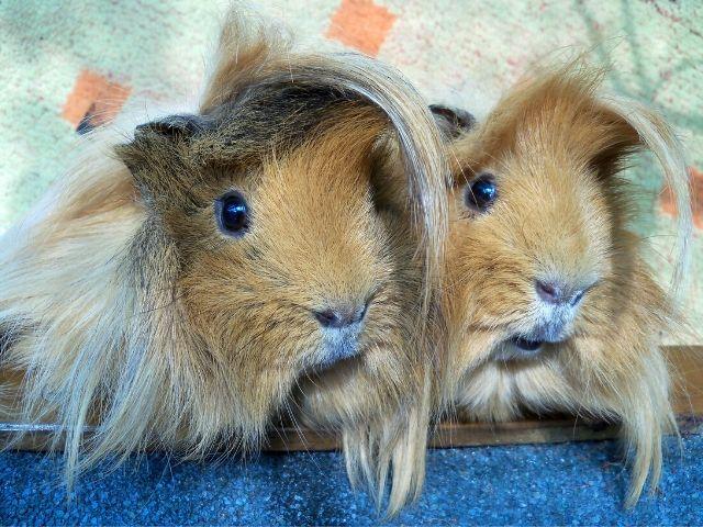 Peruvian guinea pig appearance