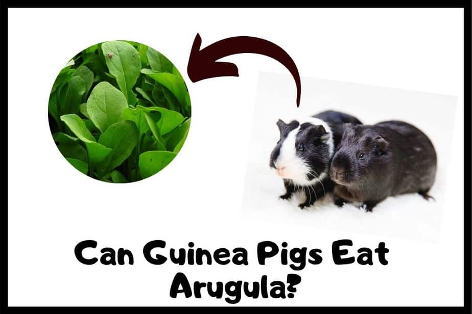 Can Guinea Pigs Eat Arugula