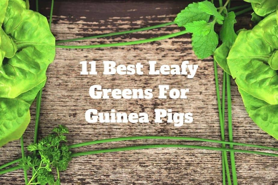 Best Leafy Greens For Guinea Pigs