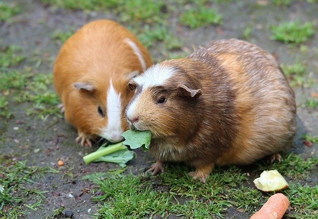 How much collard greens can guinea pigs eat?