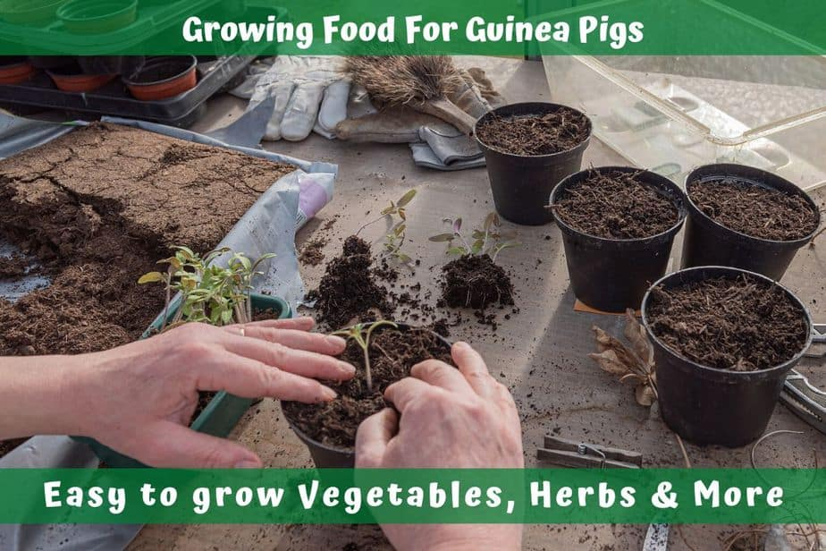 Growing Food For Guinea Pigs