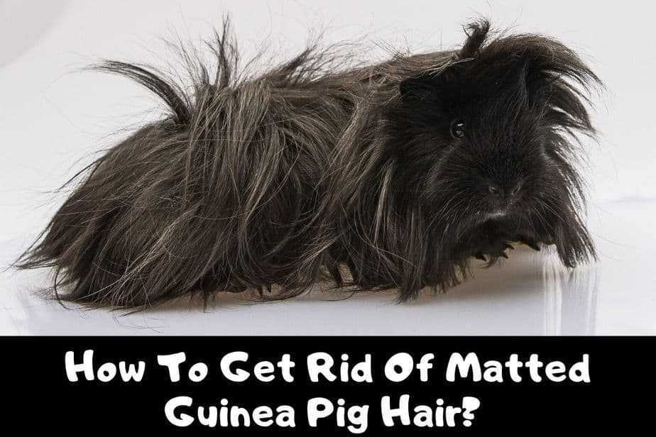 How To Get Rid Of Matted Guinea Pig Hair