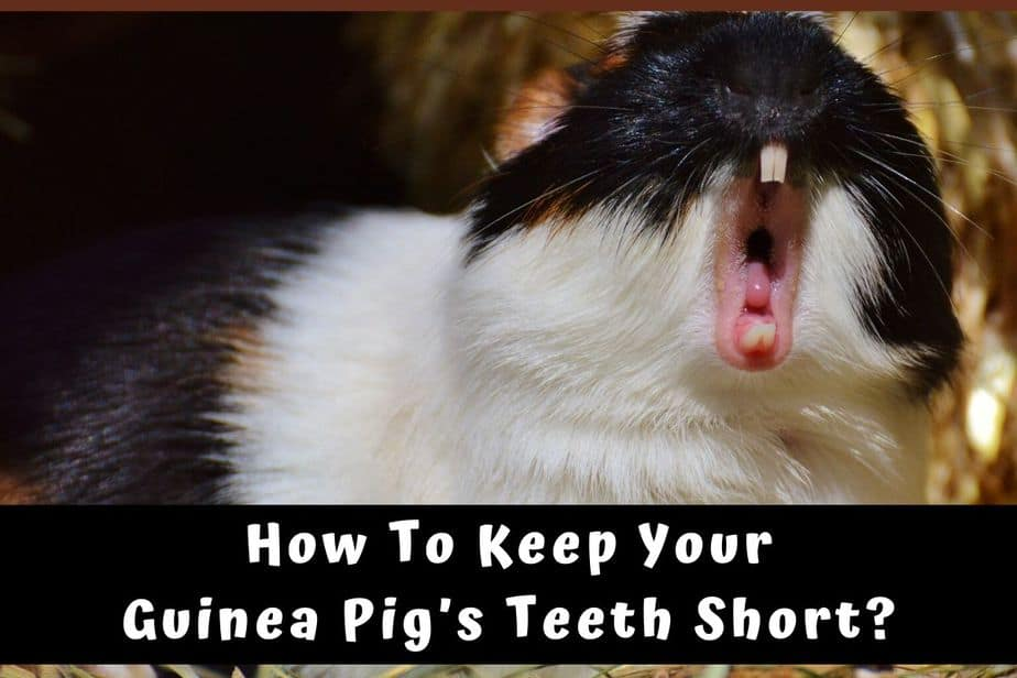 How To Keep Your Guinea Pig's Teeth Short