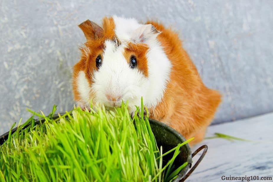 fresh grass for guinea pigs