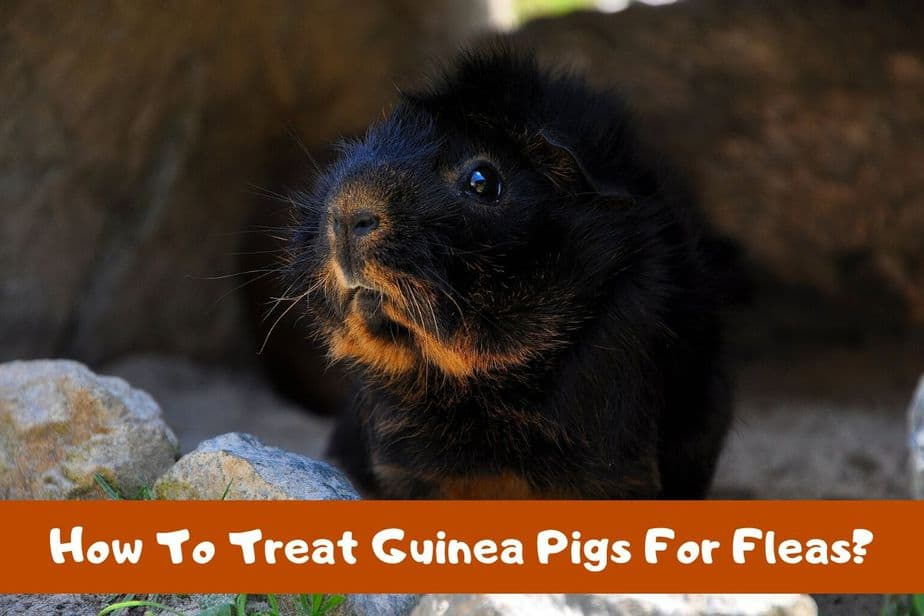 How To Treat Guinea Pigs For Fleas