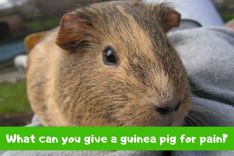 What can you give a guinea pig for pain