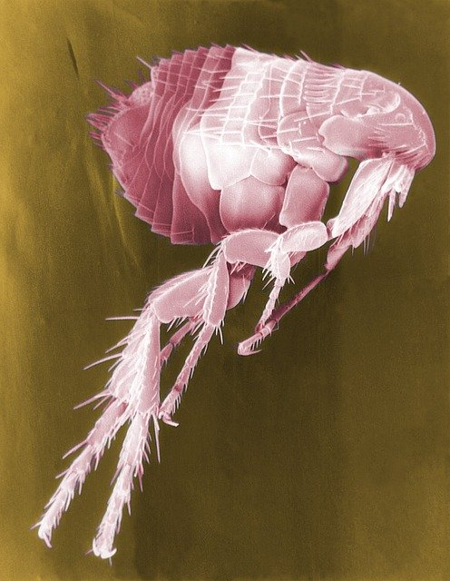 What are fleas?