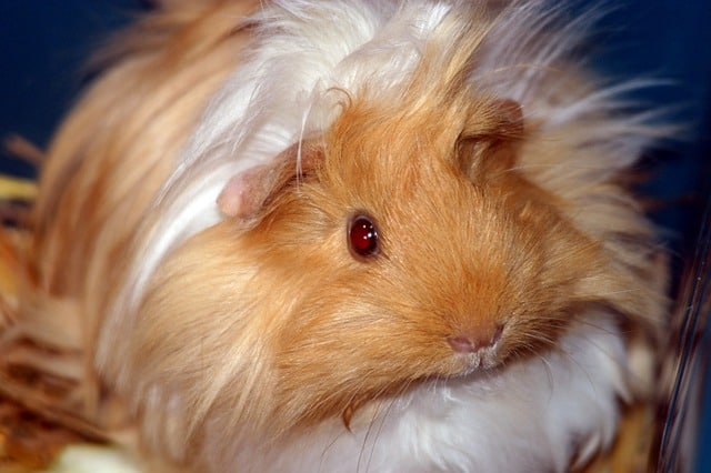 Are red eyed guinea pigs blind?