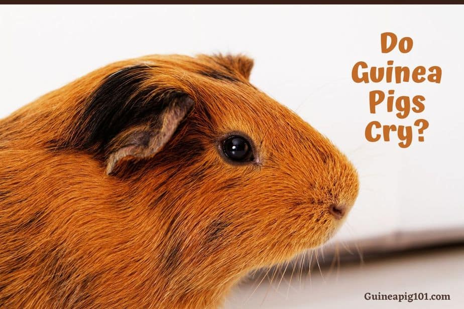 Do Guinea Pigs Cry In Pain Hungry Attention Or More