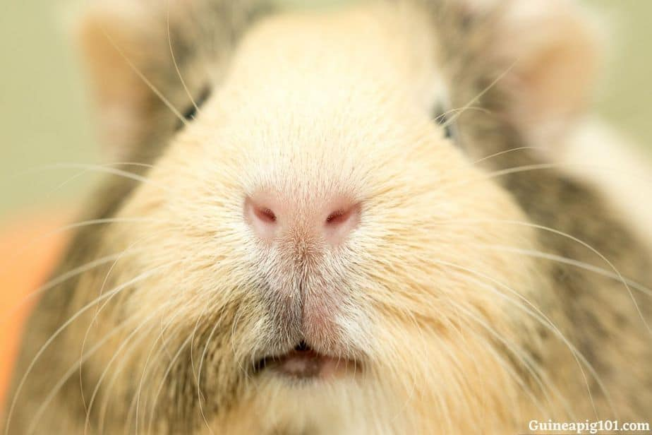 How important is a sense of smell to guinea pigs