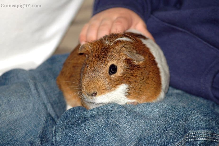 Are guinea pigs easily stressed